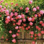 Kỹ thuật trồng hoa hồng leo đơn giản trong chậu - hong leo 1 150x150