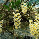 Hướng dẫn cách trồng Lan rừng - huong dan cach trong lan rung 1 150x150
