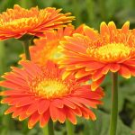 Hướng dẫn cách trồng hoa Đồng Tiền tại nhà
