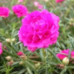 Hoa mười giờ chữa bỏng nhẹ - ky thuat trong hoa muoi gio 2 150x150