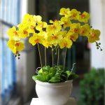 Học ngay cách trồng hoa và cây cảnh đẹp nhất - lan ho diep phalaenopsis 77 150x150