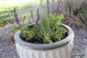 Hướng dẫn cách trồng hoa Oải Hương - lavender3 300x200