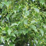 Kỹ thuật trồng và chăm sóc cây long não