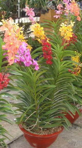 Kỹ thuật trồng Lan Mokara tại nhà - mokara