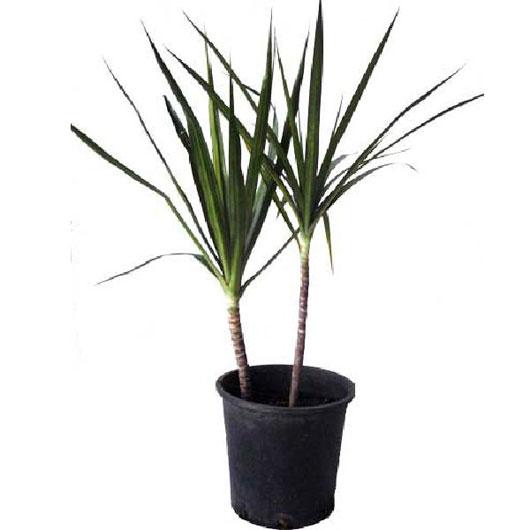 Một số loại cây làm sạch không khí trong nhà (p2) - mot so loai cay lam sach khong khi trong nha828129