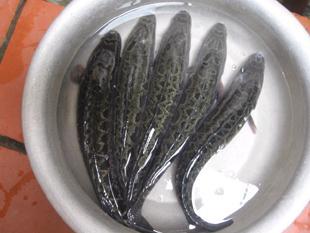 Nuôi cá lóc trong bể nilon mang lại hiệu quả kinh tế cao
