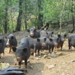 Nuôi lợn đen công nghệ vi sinh cho lãi lớn