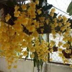 Cách gieo trồng phong lan Dendrobium