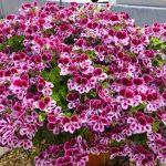 Hướng dẫn kỹ thuật trồng và chăm sóc hoa phong lữ thảo