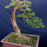 Cách chăm sóc cho cây bonsai thác đổ mau lớn - quan day uon canh bonsai 7 150x150
