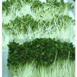 Nhân tố ảnh hưởng đến chất lượng rau mầm