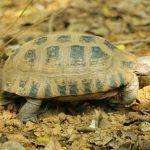 Kỹ thuật nuôi rùa núi vàng - rua nui vang 150x150