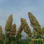 kỹ thuật trồng cây lúa miến - sam 3797 jpg 150x150