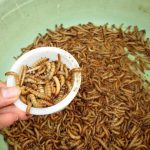 Cách phòng và trị bệnh cho sâu Superworm