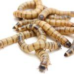 Kỹ thuật nuôi sâu superworm - sau super worm giong 150x150