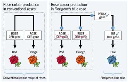 Tạo hoa hồng xanh bằng kỹ thuật RNAi - tao hoa hong xanh bang ky thuat rnai 1