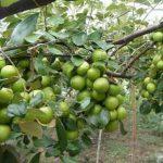 Khắc phục tình trạng táo rụng quả
