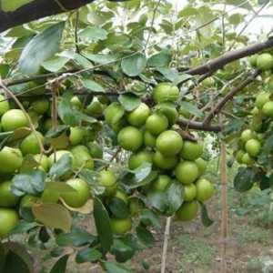 Khắc phục tình trạng táo rụng quả - tao nen jpeg