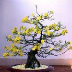 Tiêu chí chọn chậu cây cảnh hoa Mai vào ngày Tết - tieu chi chon chau cay canh hoa mai vao ngay tet 1 150x150