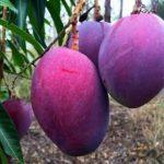 Trái cây ăn quả màu lạ hái ra tiền
