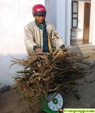 Trồng cây gì có giá trị kinh tế cao - cây nhân sâm - trong cay gi co gia tri kinh te cao cay nhan sam20281292