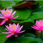 Hướng dẫn cách trồng hoa Súng tại nhà - trong cay hoa sung bung sang goc vuon xinh 1 150x150