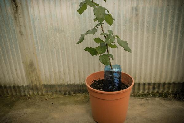 Cách trồng hoa Hồng bằng củ Khoai Tây - trong hoa hong bang khoai tay 9