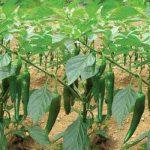 Kỹ thuật trồng ớt sừng trâu.
