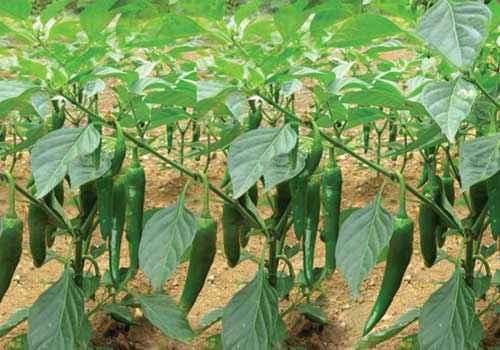 Kỹ thuật trồng ớt sừng trâu. - trong ot sung trau