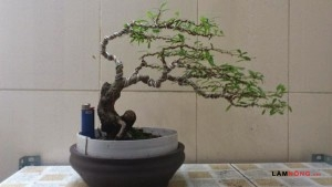 Hướng dẫn cách uốn cây bonsai (Phần 2) - uon cay bonsai4 300x169