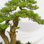 Thân cây bonsai và những quy tắc cơ bản - van nien tung 5 847x477 150x150
