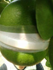Kỹ thuật trồng bưởi hồ lô - 1461743101472 2483 225x300