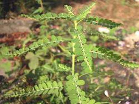 Những loại cây cỏ trị lở loét hiệu nghiệm - 55257293 1255228732 thuoc 2 1