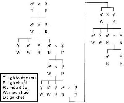 Kỹ thuật lai tạo gà Onagadori - So2Bdo2Blai2Bga2BOnagadori