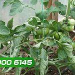 Bệnh xoắn đọt & cách phòng trị bệnh xoăn lá ở cây trồng - benh xoan dot cach phong tri benh xoan la o cay trong 150x150