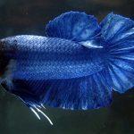 Kỹ thuật lai tạo cá Betta - betta splendens 150x150