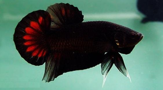 Kỹ thuật lai tạo cá Betta - betta thai1
