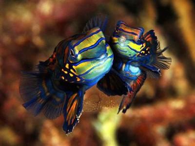Chiêm ngưỡng 10 loài cá cảnh đẹp nhất thế giới - cacanh 01 400x300