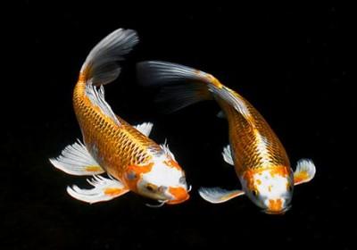 Chiêm ngưỡng 10 loài cá cảnh đẹp nhất thế giới - cacanh 14 400x280