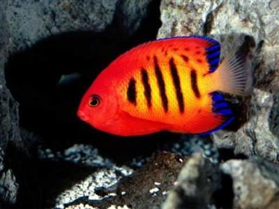 Chiêm ngưỡng 10 loài cá cảnh đẹp nhất thế giới - cacanh 16 400x300