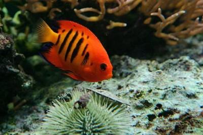 Chiêm ngưỡng 10 loài cá cảnh đẹp nhất thế giới - cacanh 17 400x266