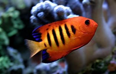 Chiêm ngưỡng 10 loài cá cảnh đẹp nhất thế giới - cacanh 18 400x256