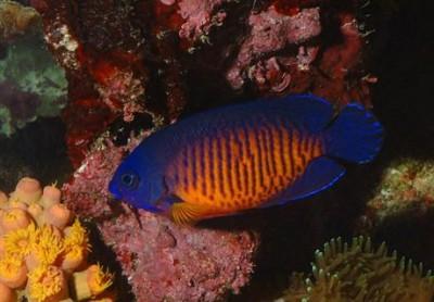 Chiêm ngưỡng 10 loài cá cảnh đẹp nhất thế giới - cacanh 21 400x278