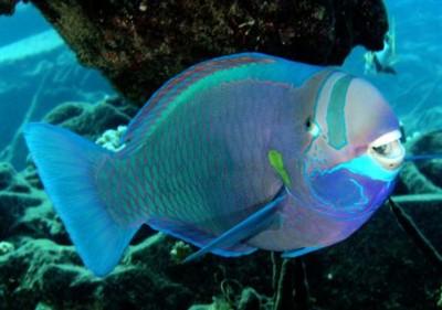 Chiêm ngưỡng 10 loài cá cảnh đẹp nhất thế giới - cacanh 26 400x281