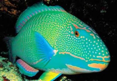 Chiêm ngưỡng 10 loài cá cảnh đẹp nhất thế giới - cacanh 27 400x280