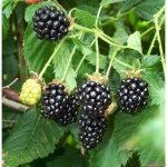 kỹ thuật trồng cây mâm xôi đen - canh mam xoi den phuc bon tu blackberries 150x150