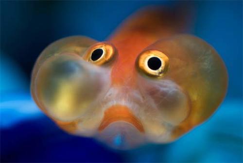 Cá vàng mắt bong bóng - cavangbongbong1 325393 1371468974 500x0