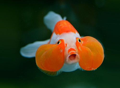 Cá vàng mắt bong bóng - cavangbongbong5 336234 1371468997 500x0 1