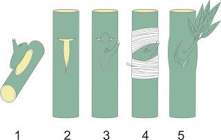 Kỹ thuật chiết – Ghép nhân giống Sầu Riêng - chietghepnhangiongsaurieng