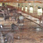 10 tối kị trong quá trình nuôi lợn rừng - dan lon rung sinh san 150x150